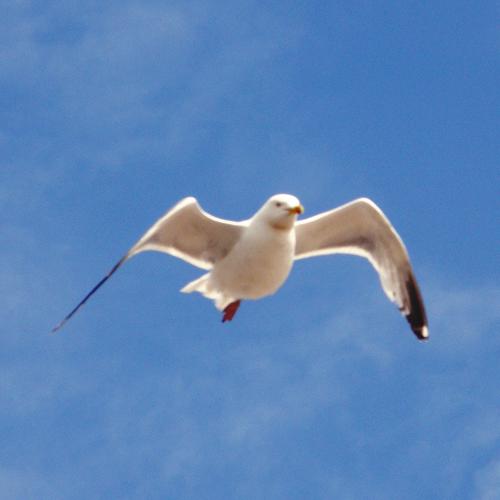 Fuzzy seagull