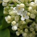 White lilac close up