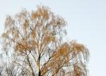 Flowering birch
