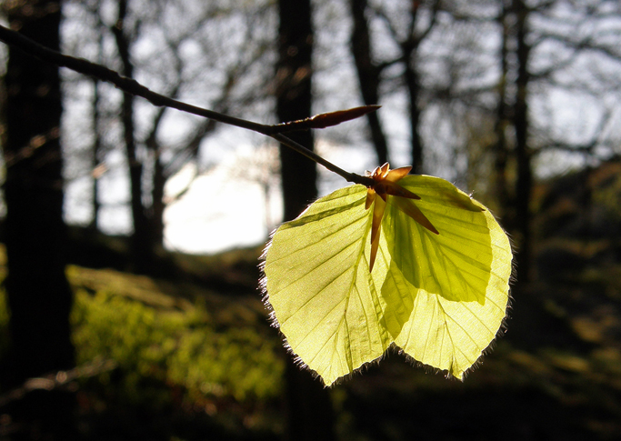 Early morning early spring: Sun through new beech leaves