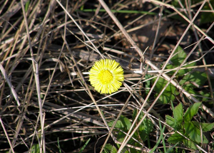 Coltsfoot (tussilago)