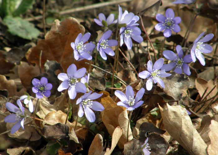 Liverwort - anemone hepatica (blåsippor)
