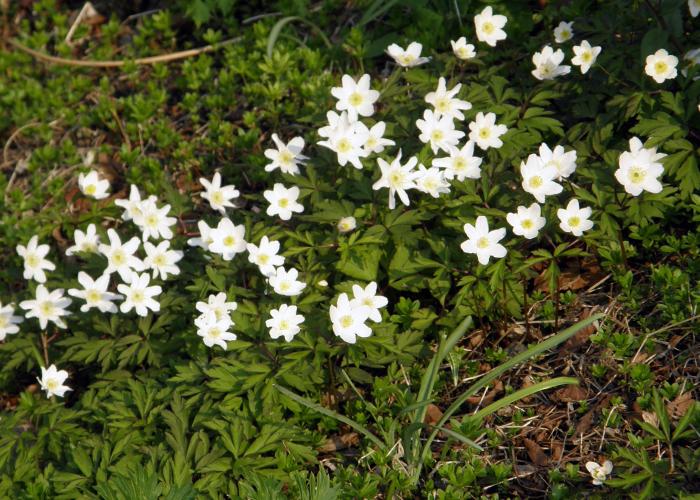 Wood anemones (vitsippor)
