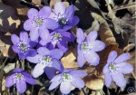 Anemone hepatica (blåsippor) among dry oak leaves