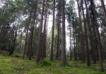 In the pine forest