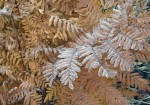 Frosted russet leaves