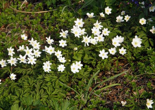 Longing for the spring: Wood anemones