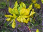 Yellow azalias