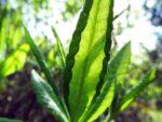 Azalia leaves macro