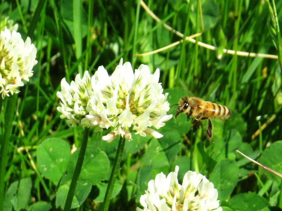 Bee in clover, detail