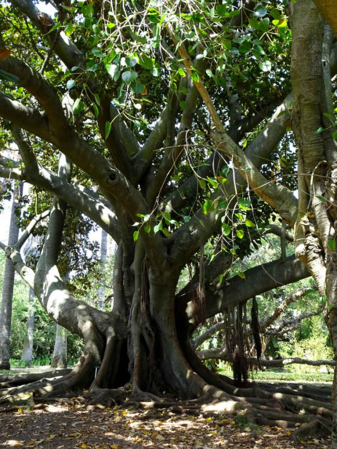 Tuesday - Belem - fig tree in the tropical botanical gardens