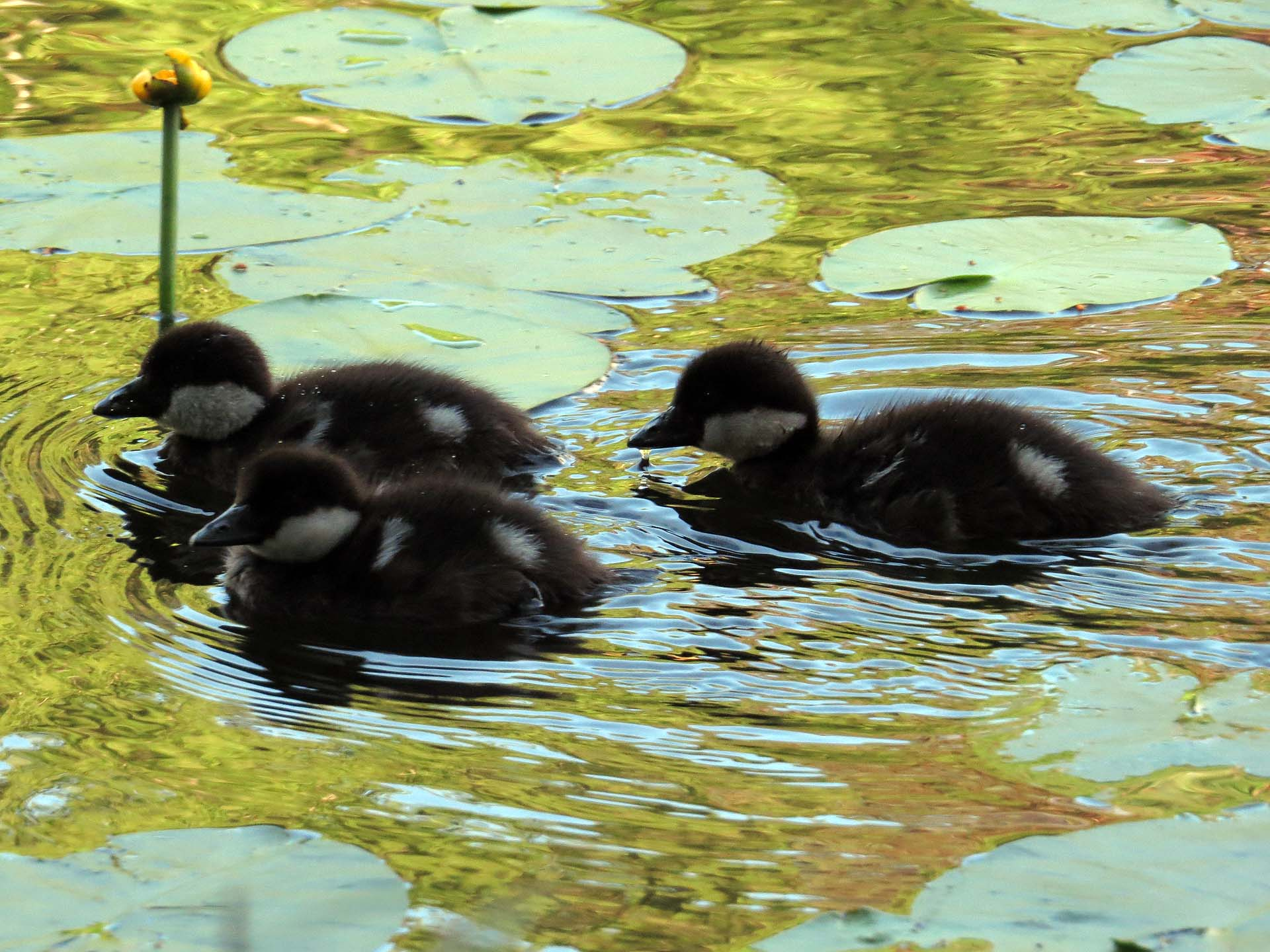 Ducklings on Slätta dam June 2013