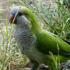 Parakeet among grass stems