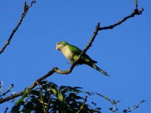 Parakeet on a high branch