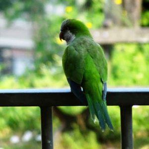 Parakeet on rail shaded
