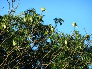 Parakeets preening in the morning sun
