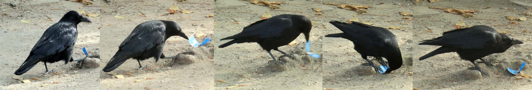 Photo catch-up: Crow playing in Parc de Bruxelles