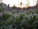 Frosted bay leaves