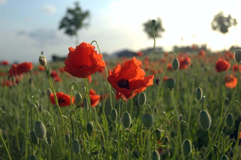 Poppies in Flanders Fields from Wikimedia