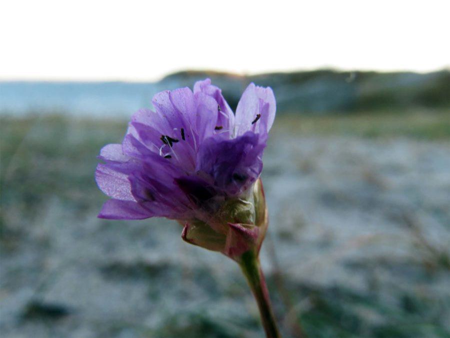 Wrong Island: Vrångö strand flower