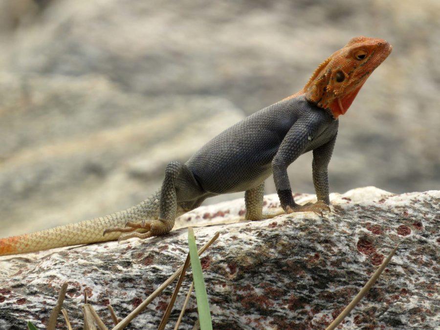 Ghana memories: Lizard sunning itself on Tema beach