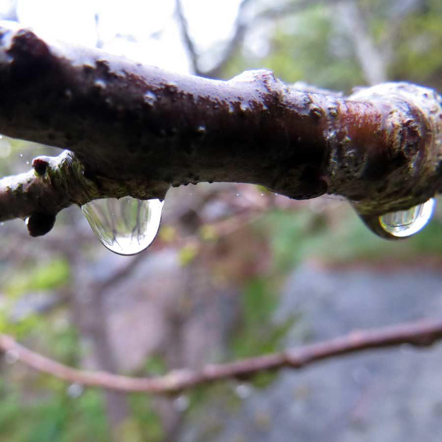 Raindrops on oak twigs - the world upside down