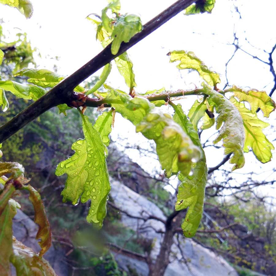 Youn oak leaves in the rain: the light green ort