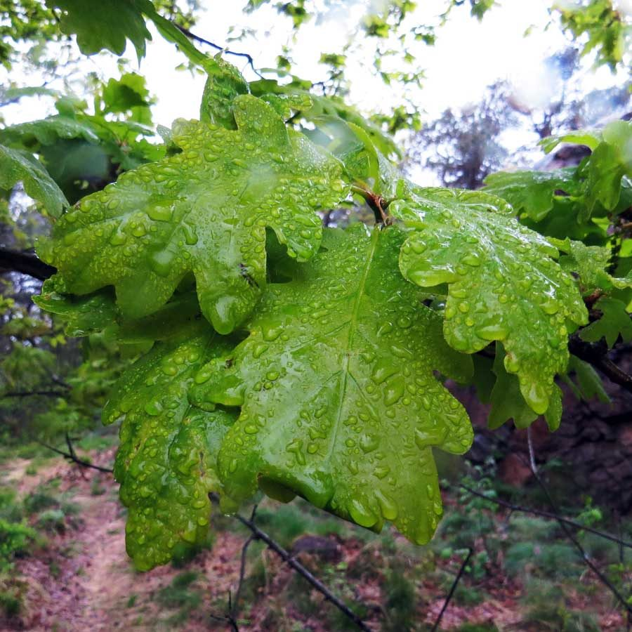 Slight older oak leaves with a more characteristic, adult green