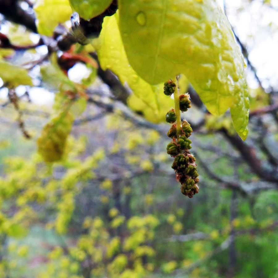 Young oak flowers