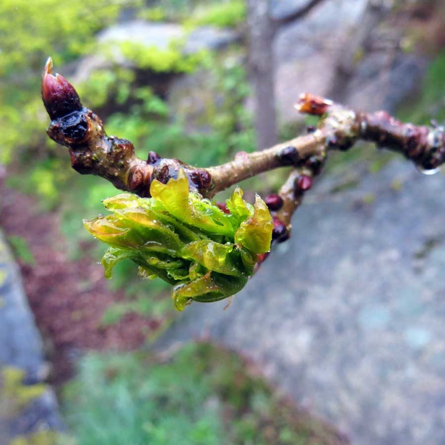 Young oak leaves in the rain: buds and budding leaves
