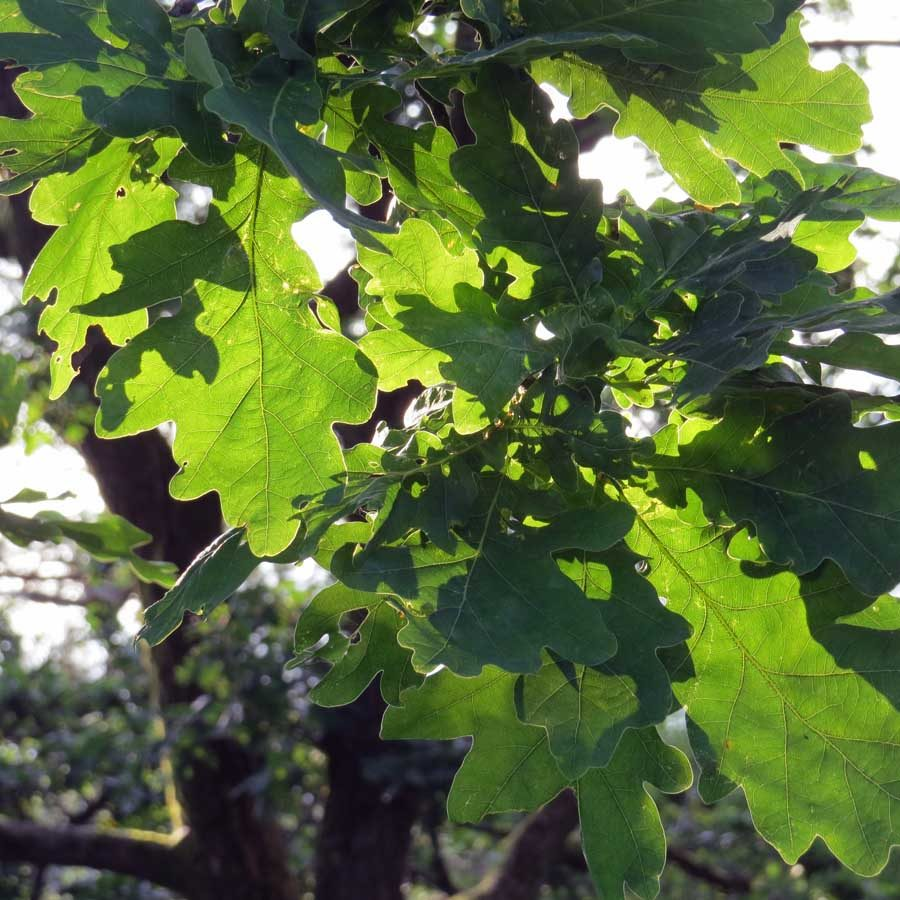 Oak leaves on Ramberget in the morning sun