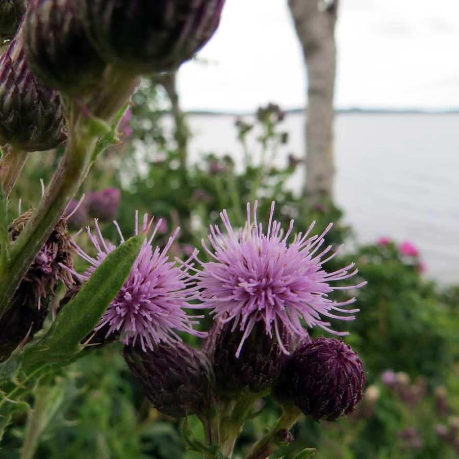 July in Photography: Rain-wet thistle heads in a garden by the sea