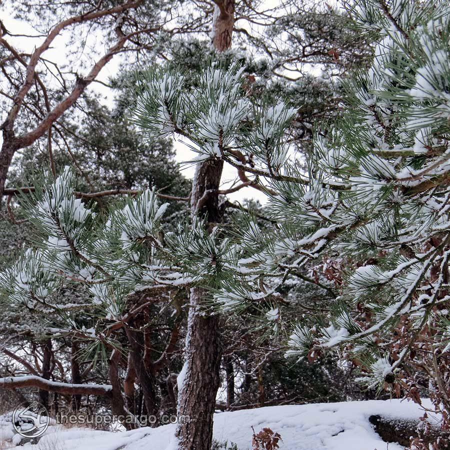 Pine needles trap snow