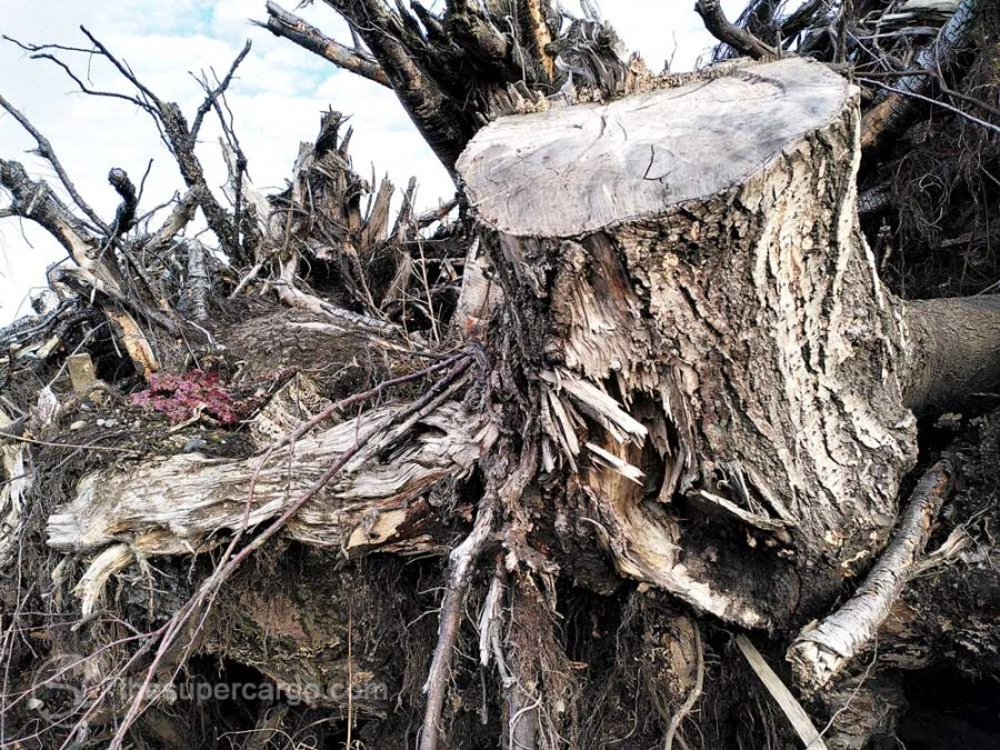 On the north side: a detail photo of a tree stump in the pile of grubbed up tree stumps