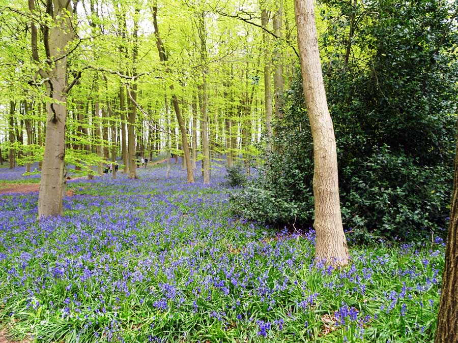 Spring back: Bluebell woods in the English Midlands May 2016